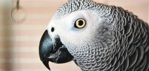 Un perroquet parlant réapparait au bout de 4 ans… Et ne parle qu'espagnol