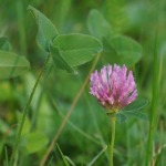 red-clover-166374_1280