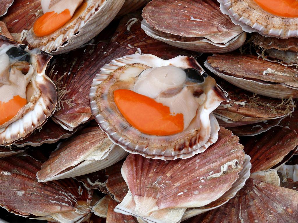 Coquilles saint jacques de la culture la gastronomie - Cuisiner les coquilles saint jacques ...