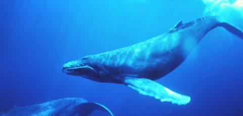 Le festival des baleines à Madagascar